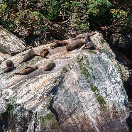 Milford Sound wildlife - fur seals