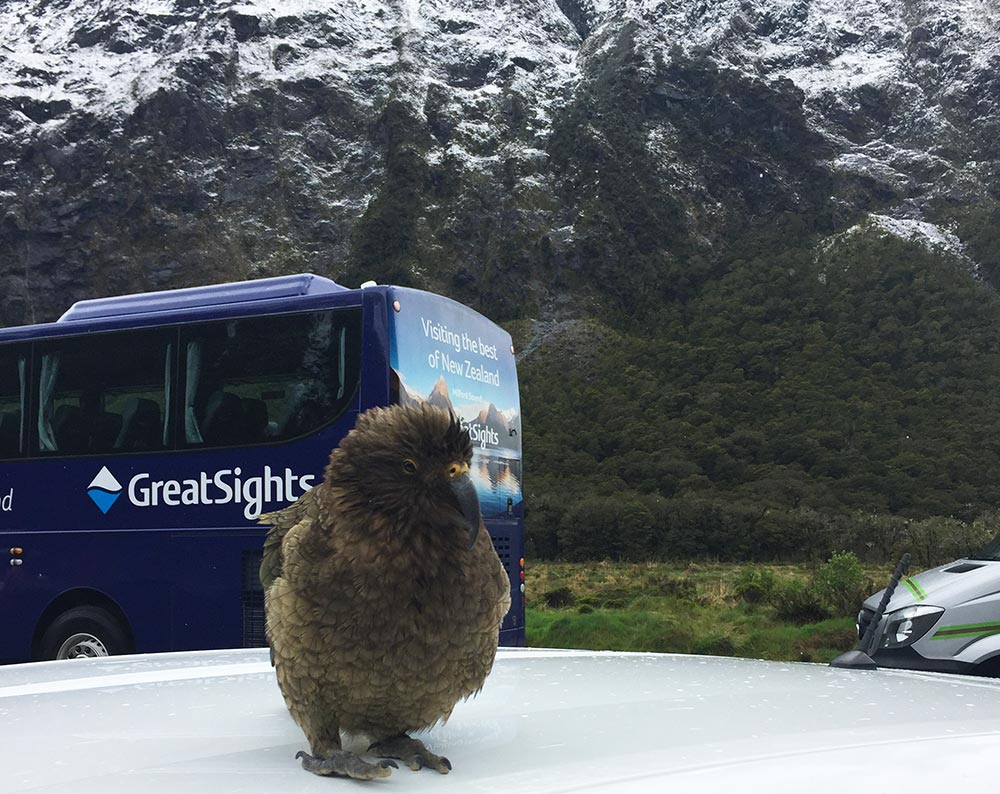 Cheeky kea at Monkey Creek